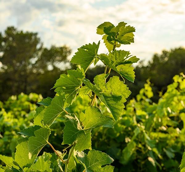 Vigne Cévenole - pays d'Oc